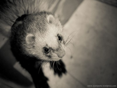 Image of ferret in copywriting blog by Camilla Zajac